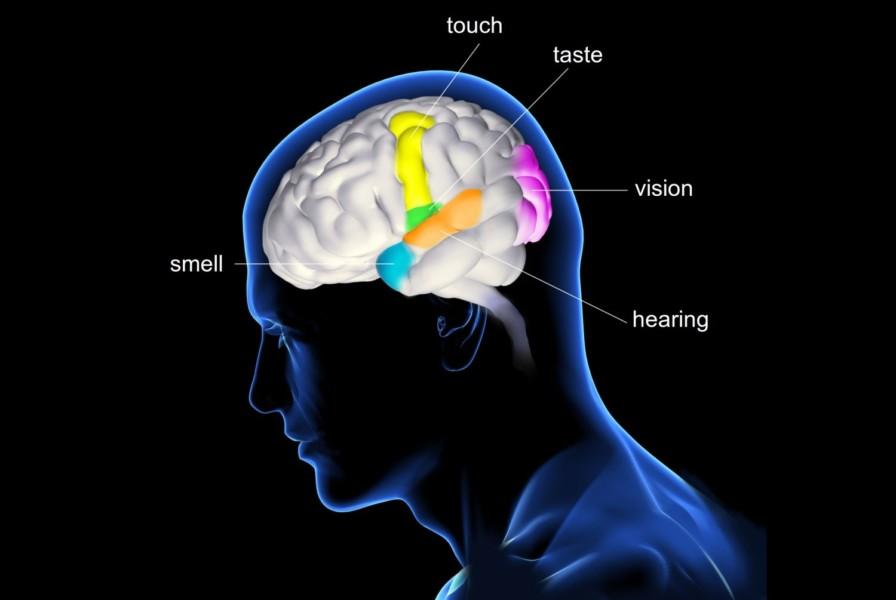 brain_senses-56ccf48f5f9b5879cc5ba0e6